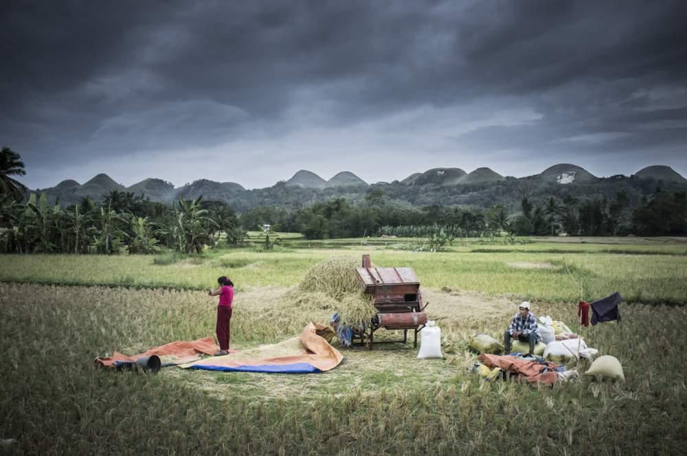 """Récolte du riz au pied des """"chocolates hills"""", Bohol"""