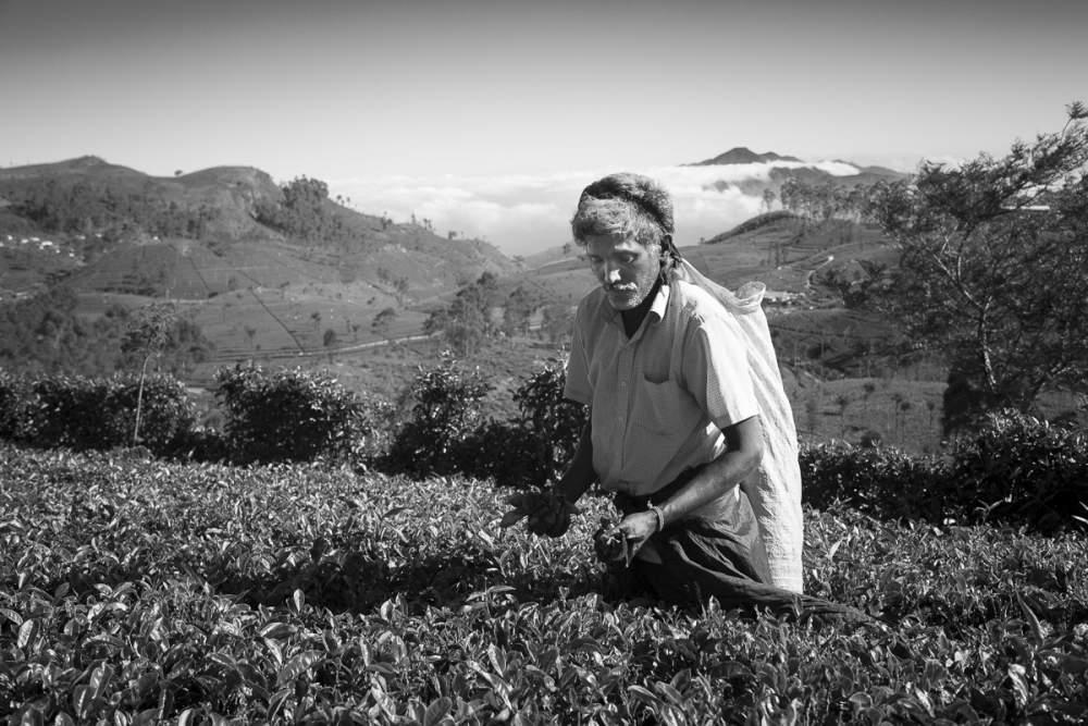 Cueilleur de thé, Sri Lanka