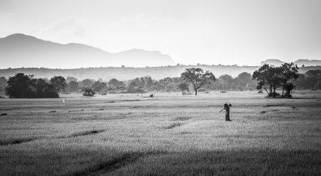 Dans les rizières, du côté d'Habarana