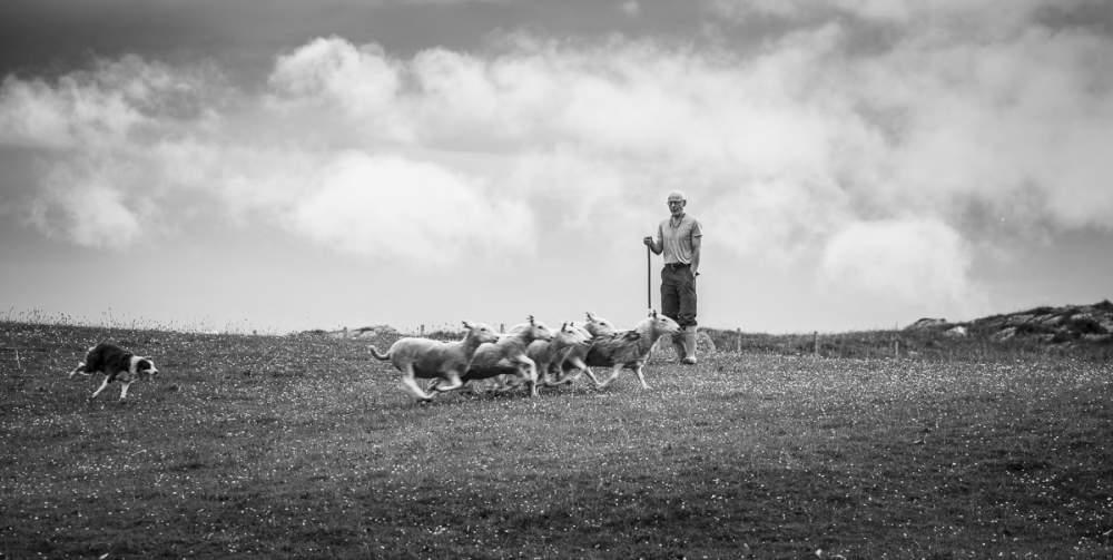 Sheep dog trainer. Dresseur de chien de berger
